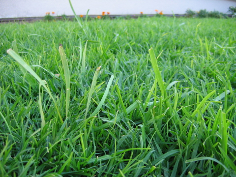 Dealing With Onion Weed Lawn Forum At Permies