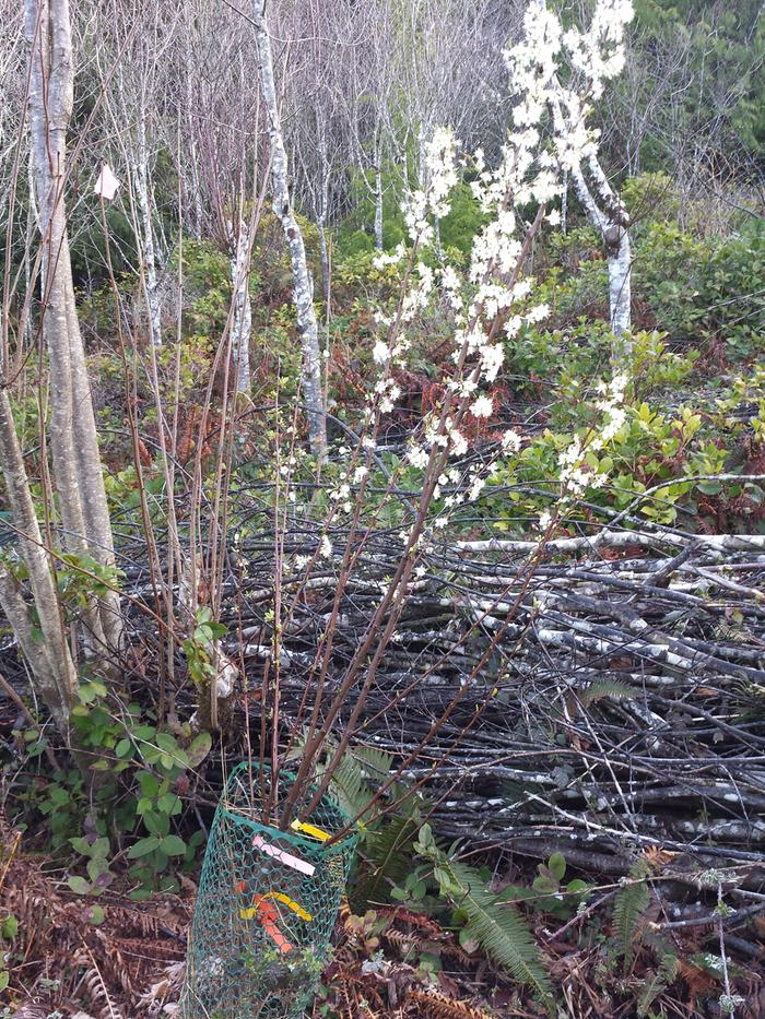Grafted plum tree has no leaves only blossoms trees forum at permies - Graft plum tree tips ...