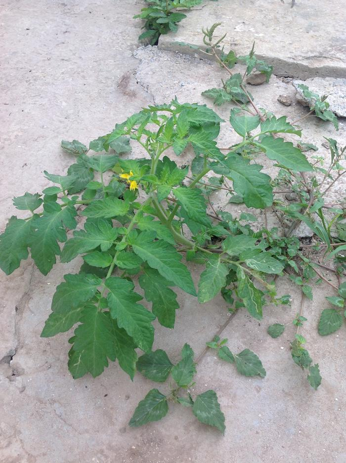 volunteer tomato plant growing from crack in concrete in Morocco