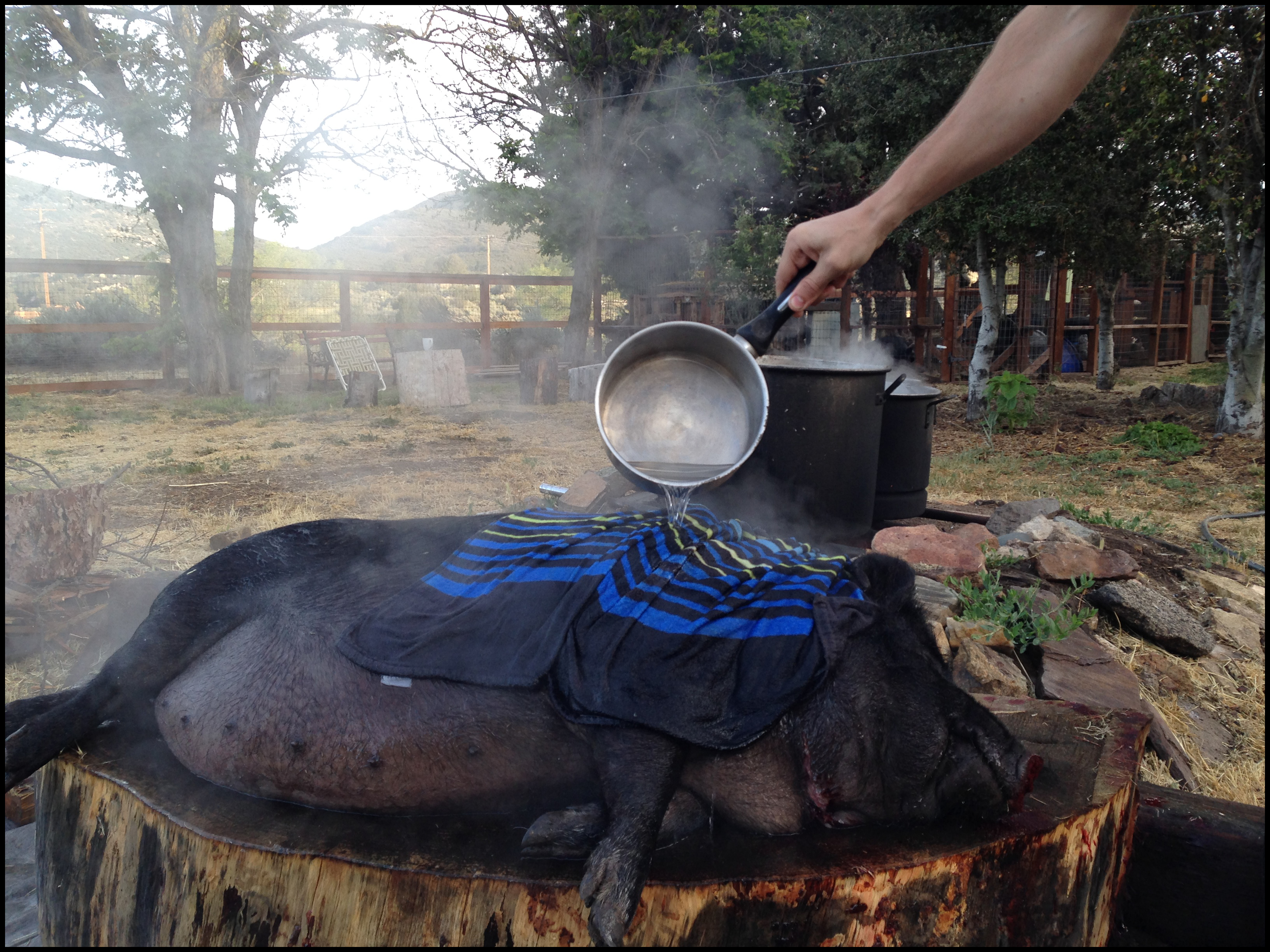 upcoming pig butchering pour scald or dip scald pigs forum at