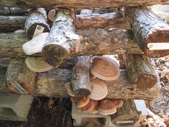 Just found a surprise flush of our cold weather strain of shiitake, Bellwether.