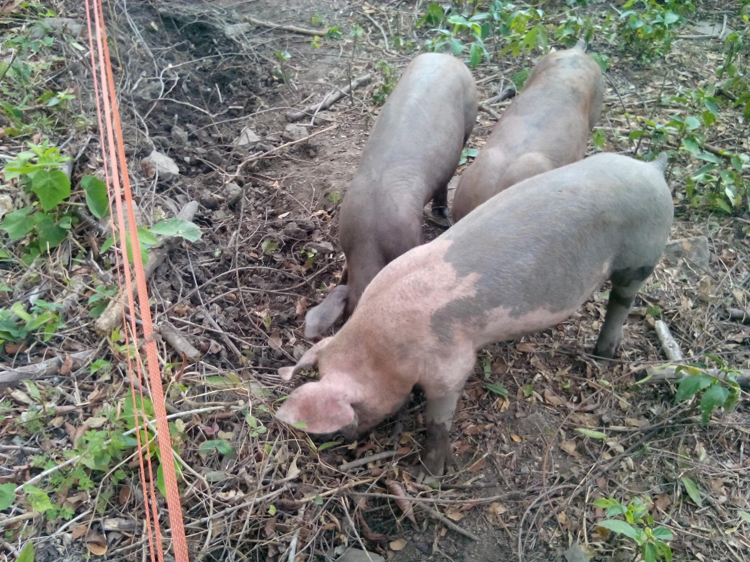 forrester pig new farms livestock pasture shop pigs raised piglets feeder pork