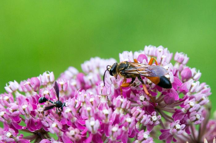 [Thumbnail for great-golden-digger-wasp.jpg]