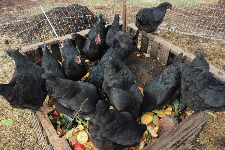 Chicken Egg Production From Kitchen Scraps Chickens Forum At Permies