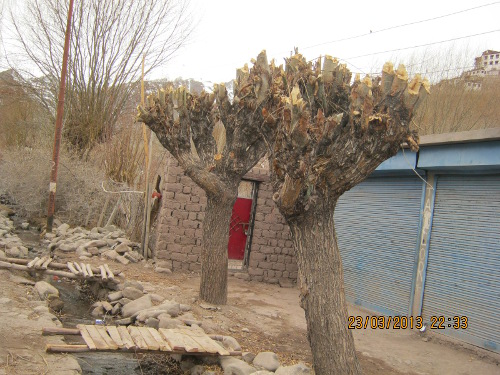 [Thumbnail for 1 Typical willow pollard in March in Leh town.JPG]