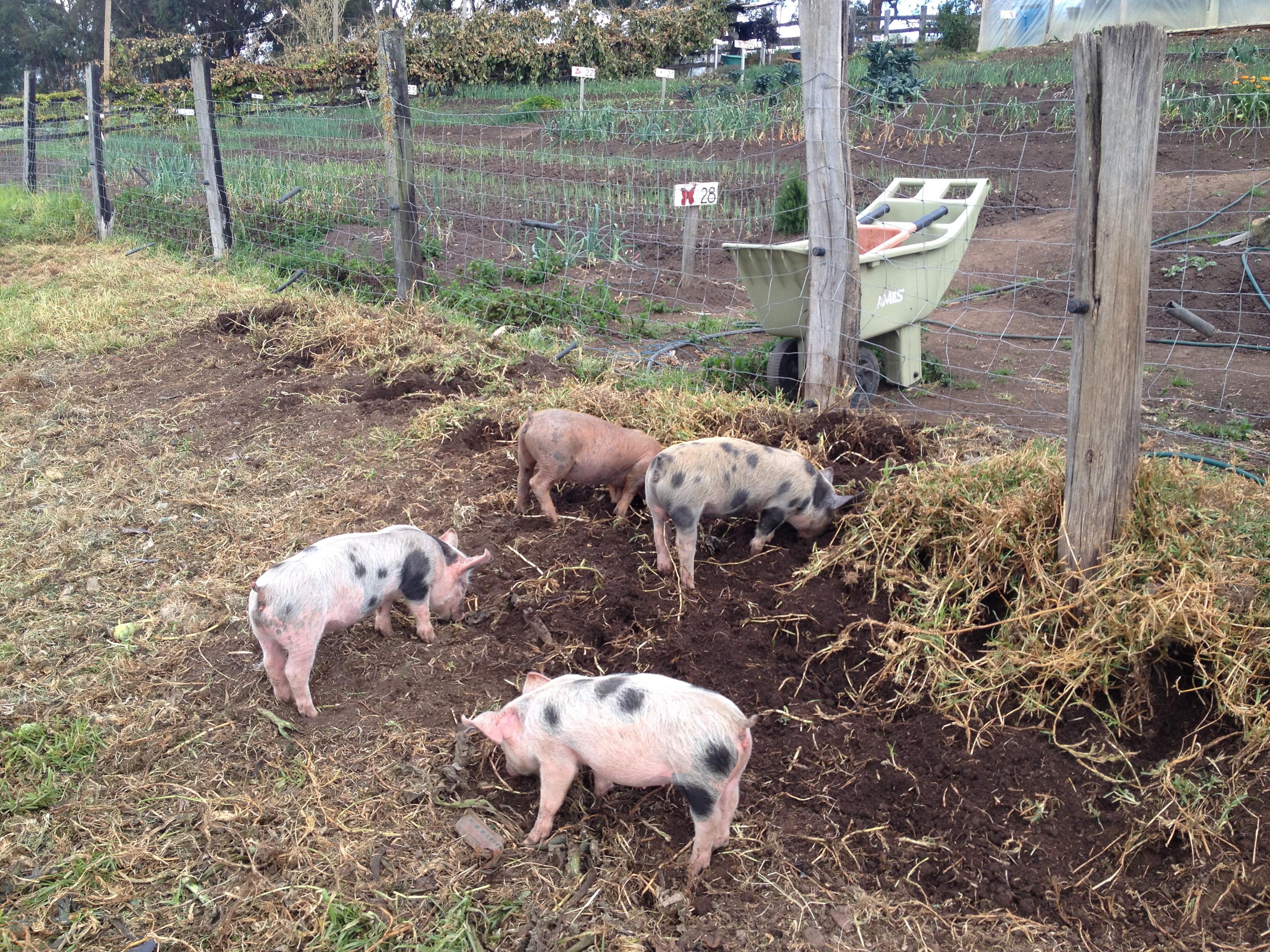 pig a to build x how feeder com hog