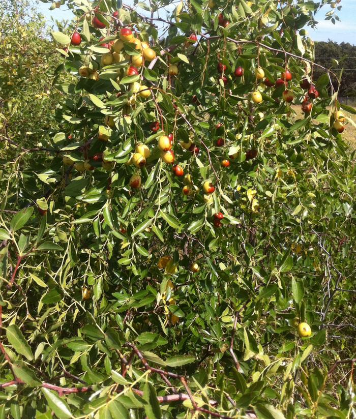 Growing Jujubes from seed (and general Jujube feedback) (trees forum