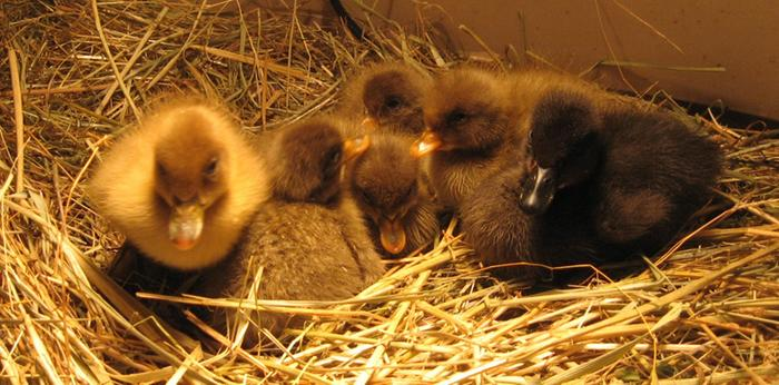 [Thumbnail for Spring-2010-Percy-sDucklings-004.jpg]