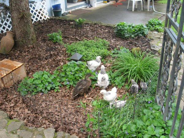 [Thumbnail for Spring-2010-chickens.jpg]