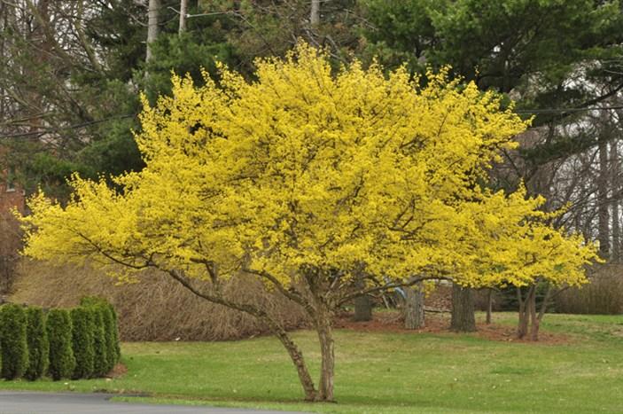 дерево любви цветок комнатный фото размножение