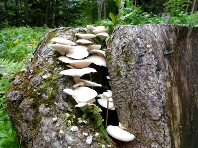 [Thumbnail for oysters on stump.jpg]