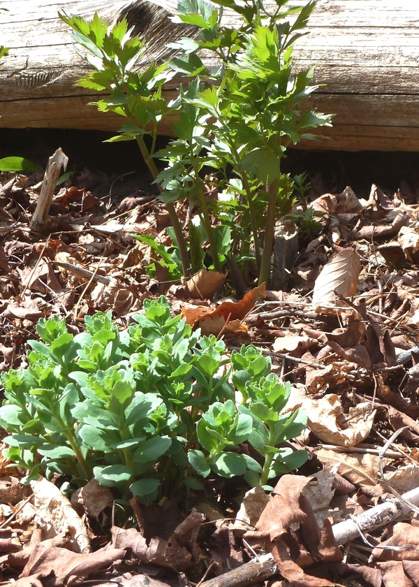 [Thumbnail for orpine-in-salad-garden-with-lovage.jpg]