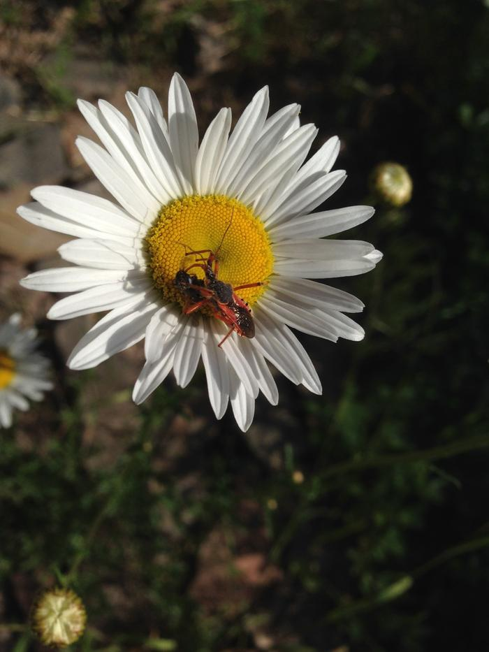Assassin bug on oxeye daisy
