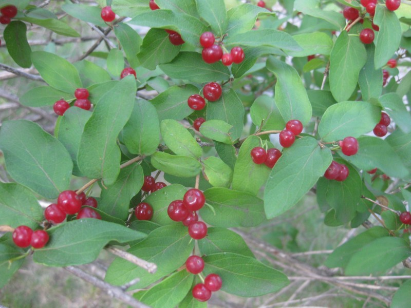 Help Me Id These Three Red Berry Bushes Fruiting Now Plants Forum
