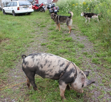 [Thumbnail for IMG_1559.JPG-hogs-and-dogs.JPG]