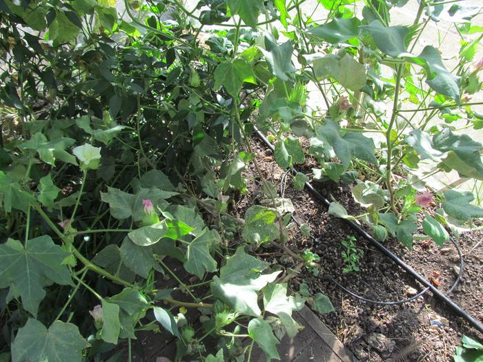[Thumbnail for growing-cotton-with-permaculture-.jpg]