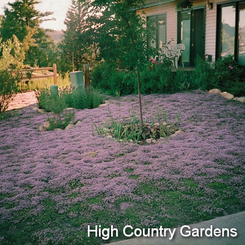 Tips For A Thyme Lawn Lawn Forum At Permies