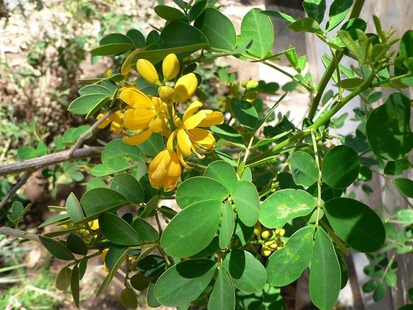 Id legume tree edible sweet pod yellow flower plants forum at thumbnail for p1160319g mightylinksfo