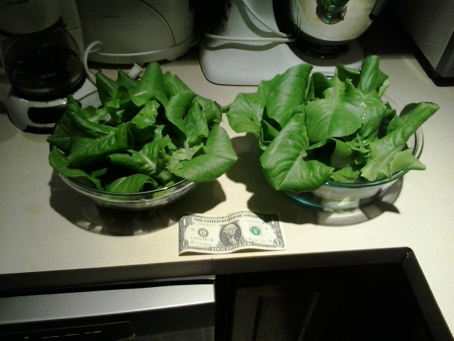 [Thumbnail for First-Aquaponics-lettuce-harvest-23Feb2016.jpg]