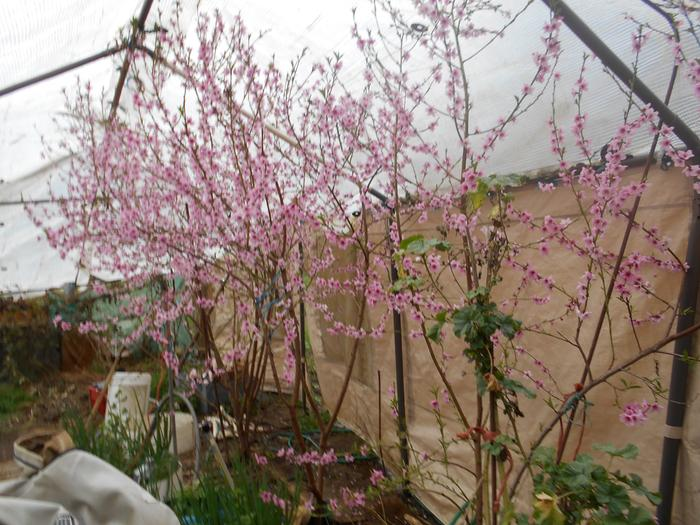 Peach blossoms started 1st of march in hoop house
