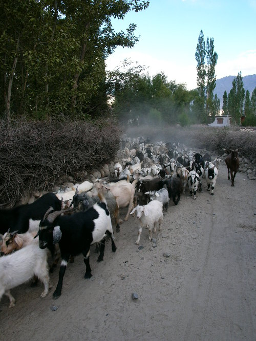 [Thumbnail for Old thorn fencing and flock of goats Nubra.JPG]