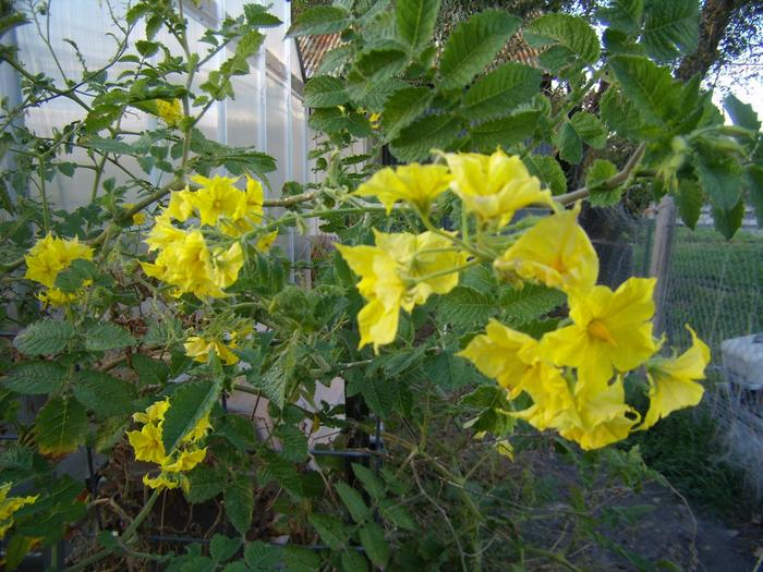 [Thumbnail for solanum-habrochaites-flowers-2016-10-06.jpg]