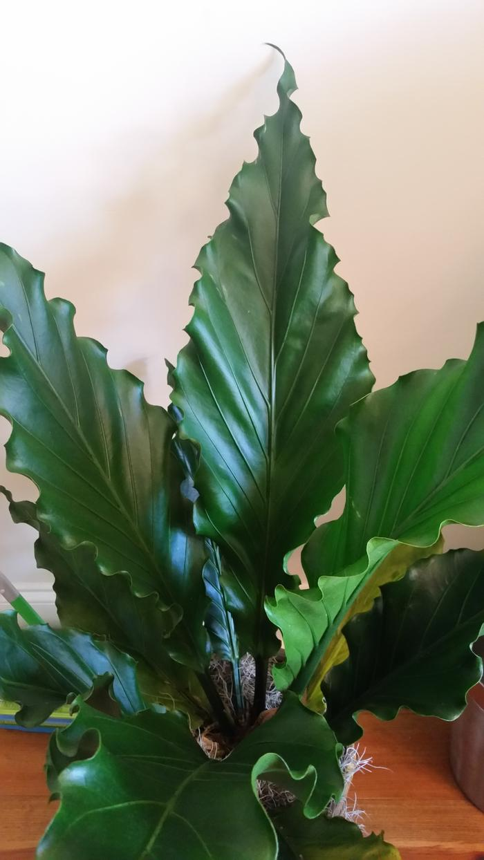 HELP - need to identify house plant (plants forum at permies) Ruffled Birds Nest Fern