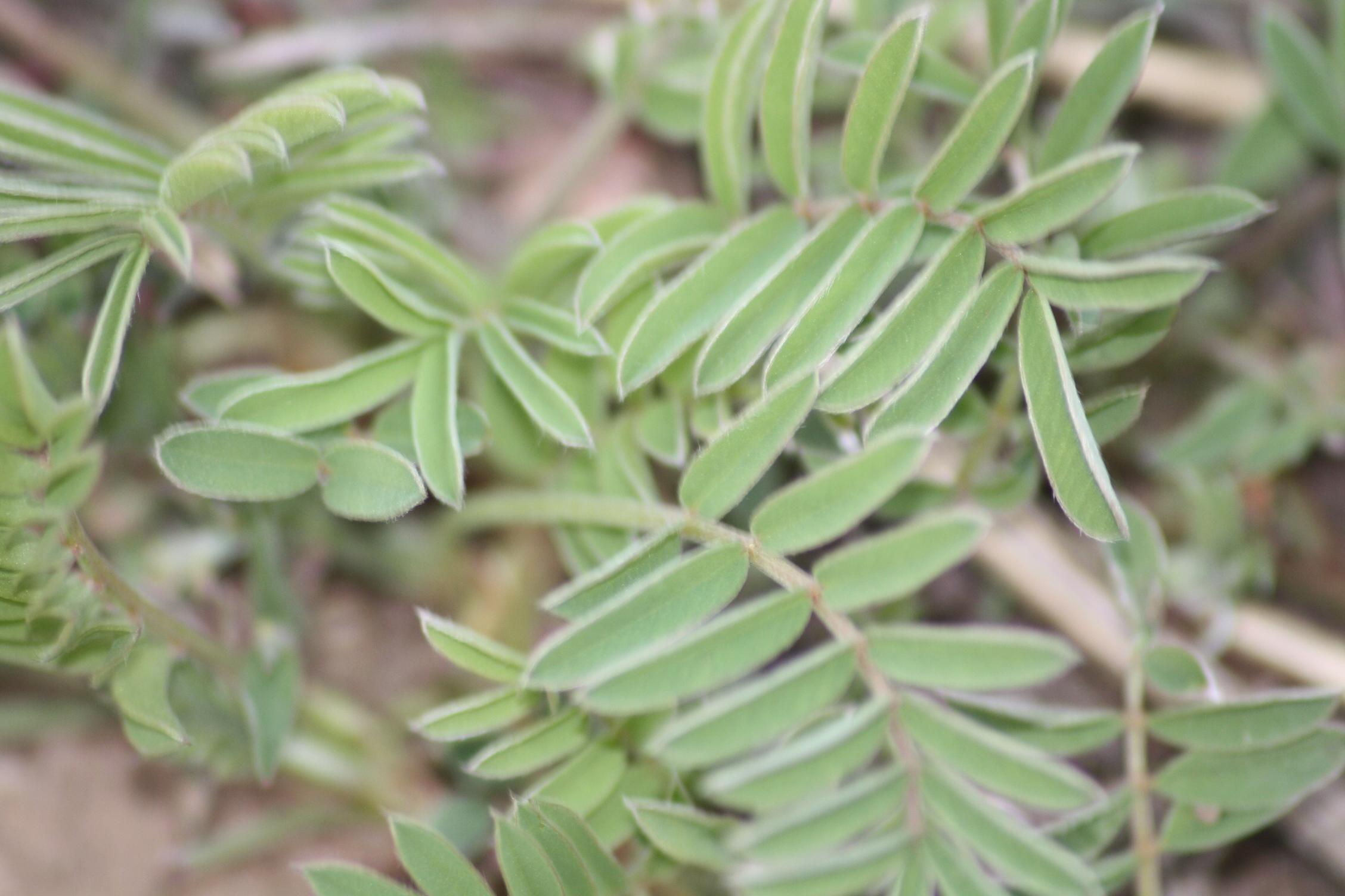 Sainfoin Forage Better Than Alfalfa Plants Forum At Permies