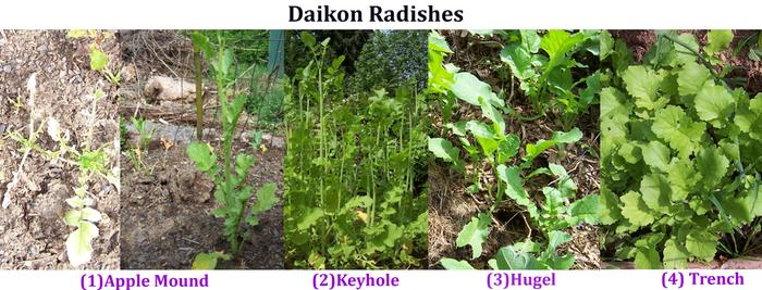 [Thumbnail for Daikon-Radishes-copy.jpg]