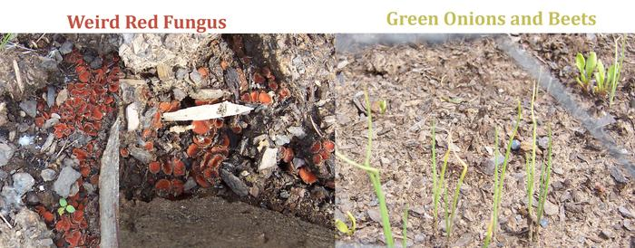 [Thumbnail for Fungus-Green-Onion-Beets-copy.jpg]
