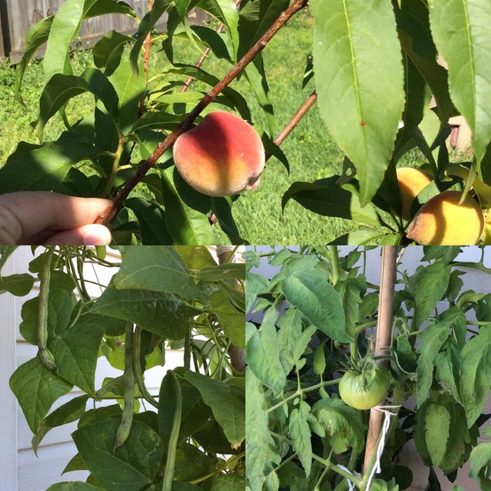 Peaches, Green Beans, Tomatoes