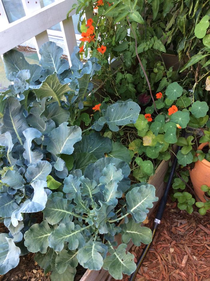 Broccoli, tomatoes, Nasturtium, Peppers