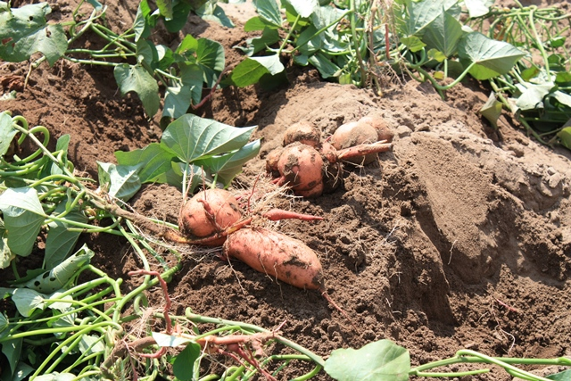 [Thumbnail for sweet-potatoes-growing-in-southern-Ontario-web.jpg]