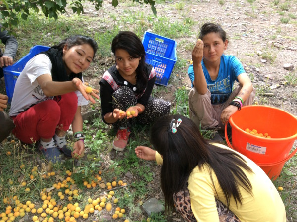 [Thumbnail for Collecting seedling apricots 2015.jpg]