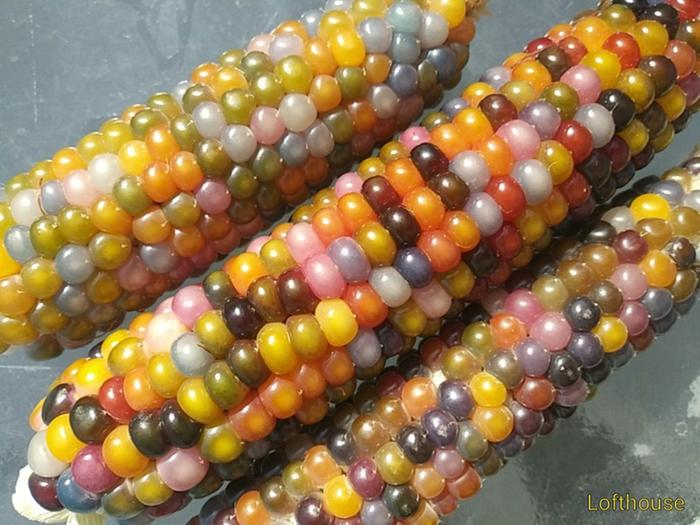Harvested Glass Gem corn grown by a collaborator