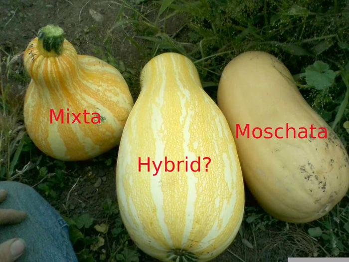 [Thumbnail for hybrid-moschata-mixta-2.jpg]