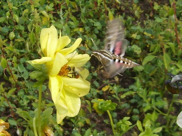 [Thumbnail for hummingbird-moth-2.jpg]