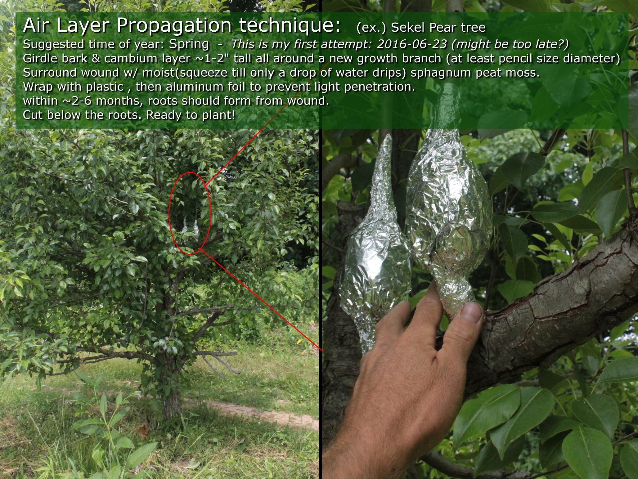 10 Black Walnut Cuttings 6 to 8 inches long 1//2 diameter Grafting Bonsia Tree