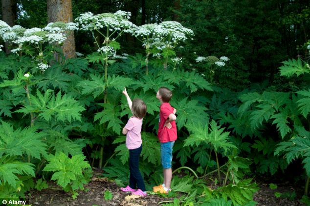 thumbnail for giant hogweed jpg