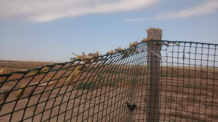 grasshoppers on fence