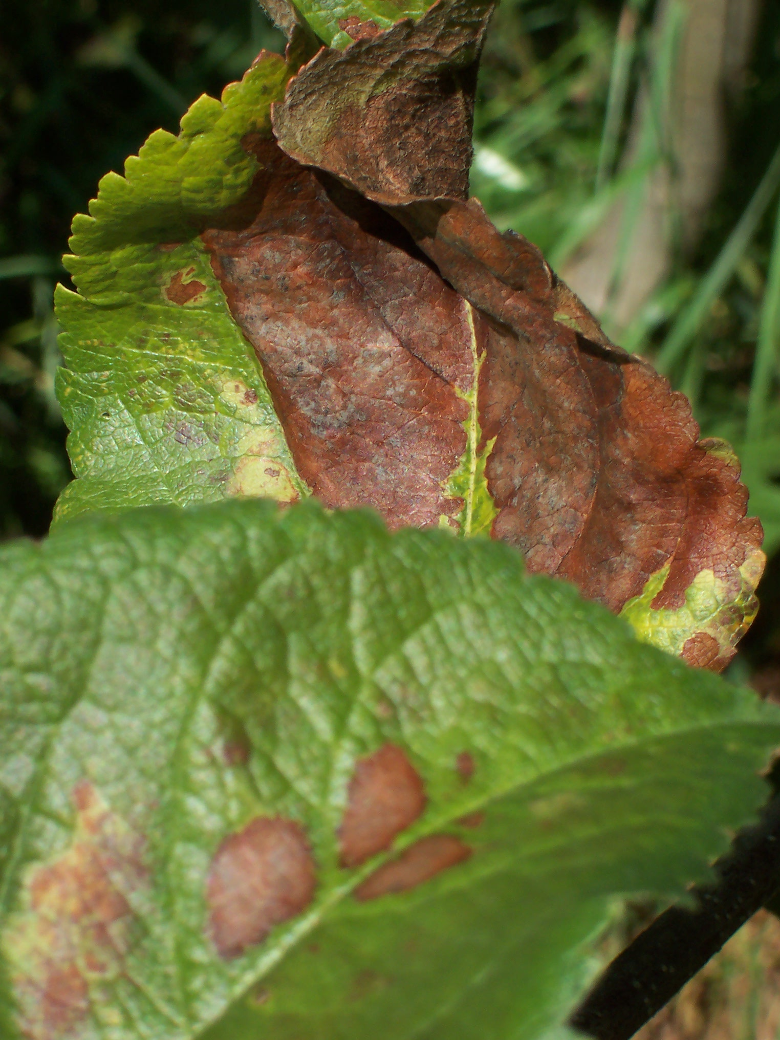 Brown Spots and Curling Brown Leaves on Apple Trees--What ...