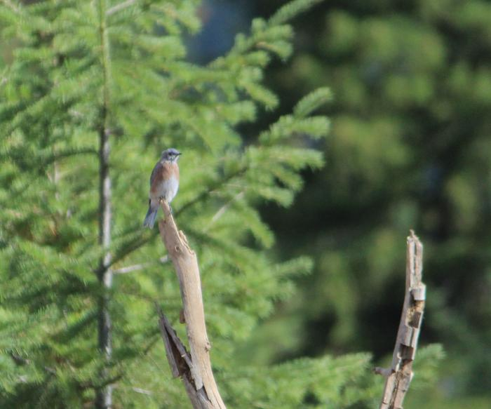 [Thumbnail for Mountain-bluebird-collecting-the-mullien-seeds-just-planted.jpg]