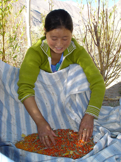 [Thumbnail for Collecting-seabuckthorn-Ladakh.jpg]