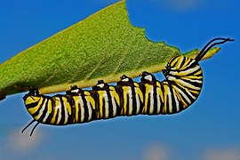 [Thumbnail for Monarch-caterpillar.jpg]