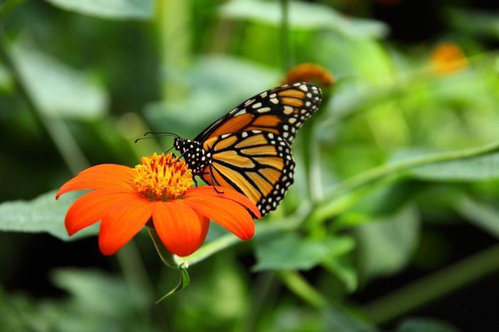 [Thumbnail for Monarch-on-Mexican-Sunflower.jpg]