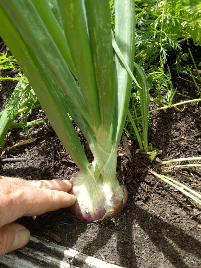 how to grow potato onions