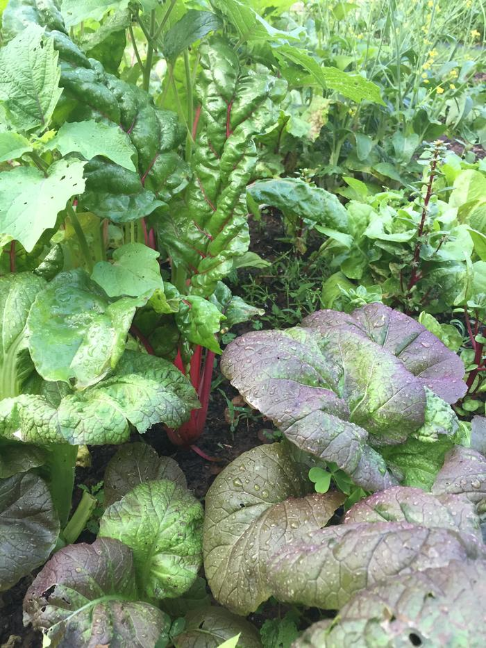 Purple Mustard and Swiss Chard