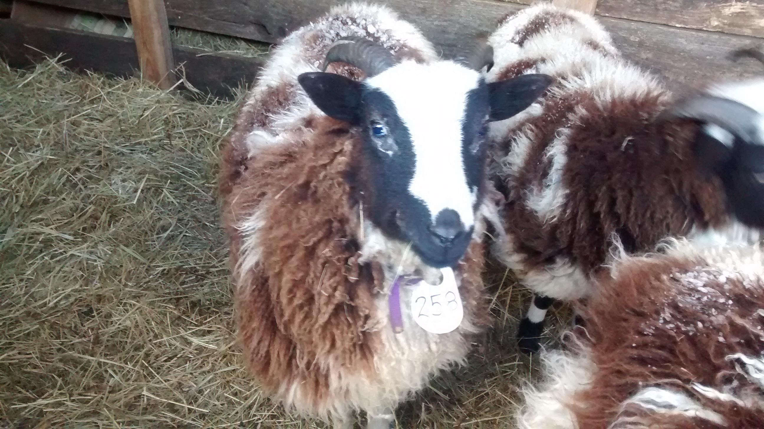 Sheep losing wool around eyes (goats forum at permies)