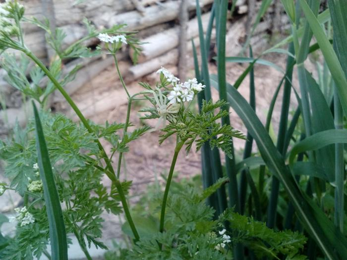 Chervil and Crab Spider