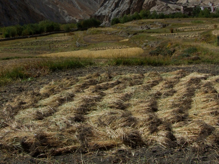 [Thumbnail for barley-harvested-by-hand-in-ladakh.jpg]